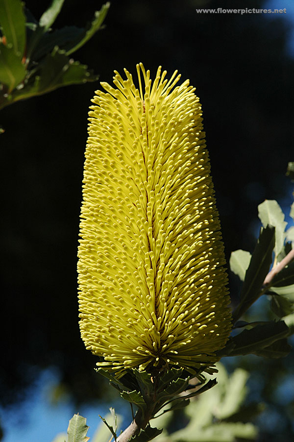 Pictures Of Flowers At Flowerinfo Org: Banksia Flower