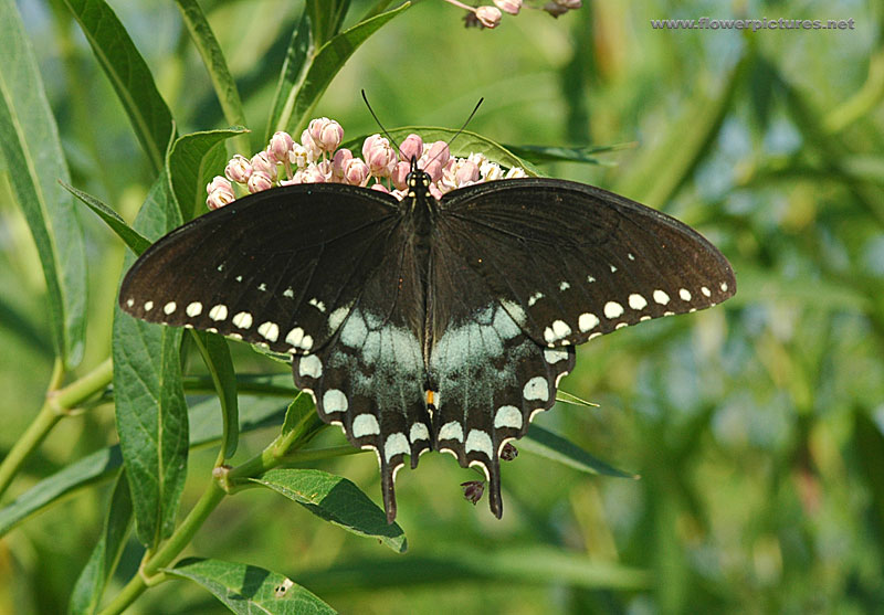 Female black swallowtail butterfly ( papilio polyxenes )
