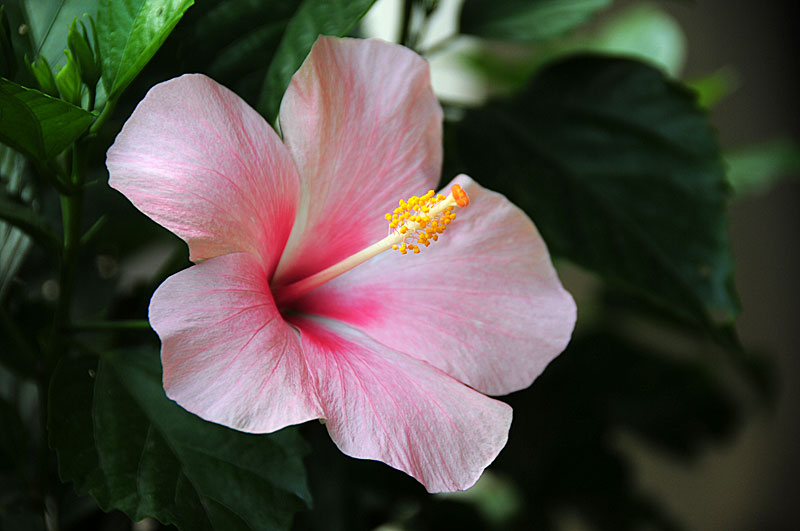 pictures of flowers tropical hibiscus