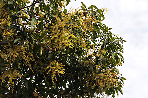 flower induction in carabao mango Mango profile i introduction  mango production has been adversely affected by several typhoons that  (110-125 days from flower induction) 2 free from .