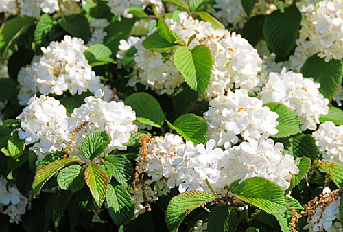 Pictures of flowers: Japanese snowball - photo#19