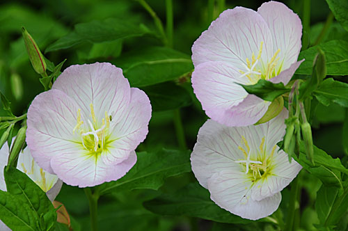 Pictures Of Flowers Pink Evening Primrose