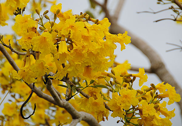 Pictures Of Flowers Yellow Tabebuia