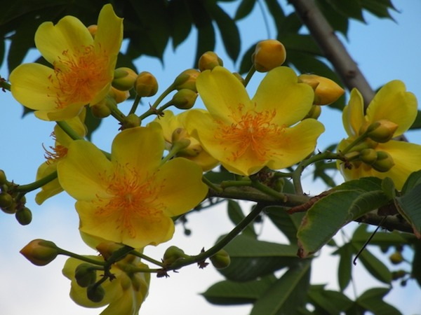 Pictures Of Flowers Buttercup Tree