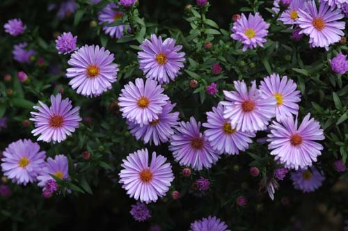 pictures of flowers aster, Natural flower
