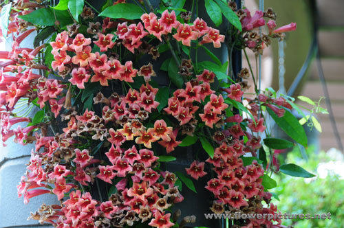 pictures of flowers crossvine, Beautiful flower