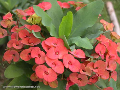 My Crown Of Thorns Euphorbia Has Retained Its Old Pink Flowers But They Are Faded To A Dirty How Do I Encourage New David Se Qld