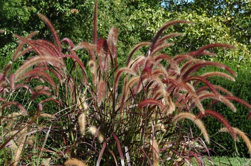 pictures of flowers red fountain grass, Natural flower