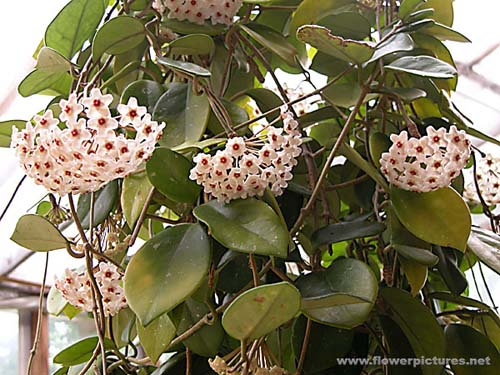 picture of HOYA, wax plant or shooting star flower