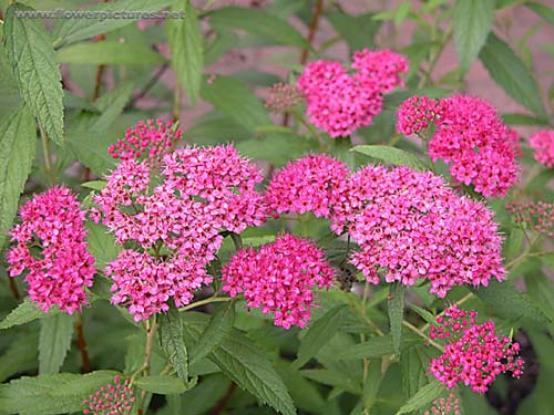 Pictures of flowers japanese spirea if you want more information about this flower just search the plants latin name on google mightylinksfo
