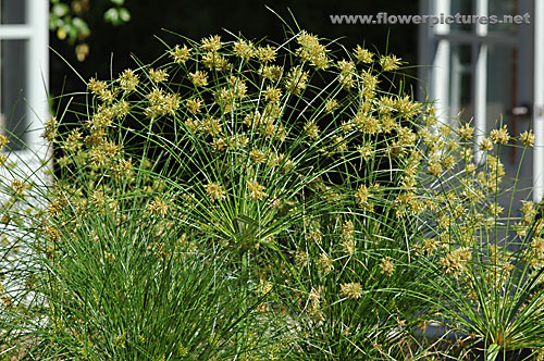 Pictures Of Flowers Papyrus