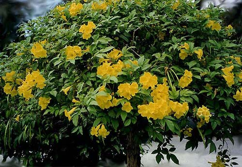 Pictures of flowers trumpet tree golden trumpet tree trumpet tree mightylinksfo