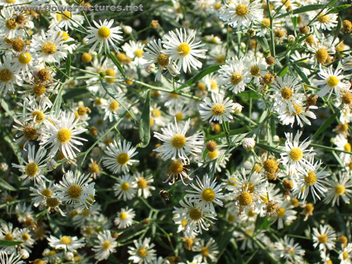 pictures of flowers white heath aster, Beautiful flower