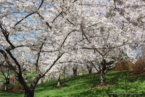 A7_flowering_cherry-2