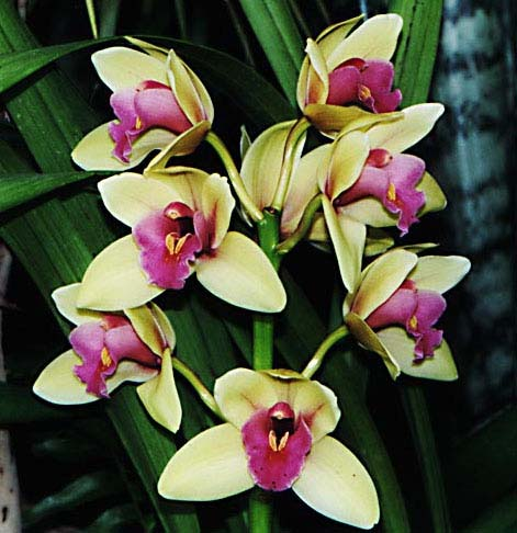 cymbidium_eveningstar