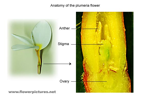 Pictures of plumeria flowers back to plumeria page ccuart Image collections