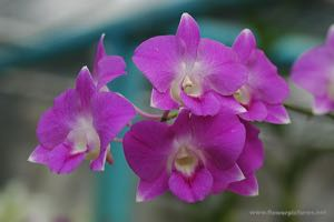 how to look after a dendrobium nobile orchid