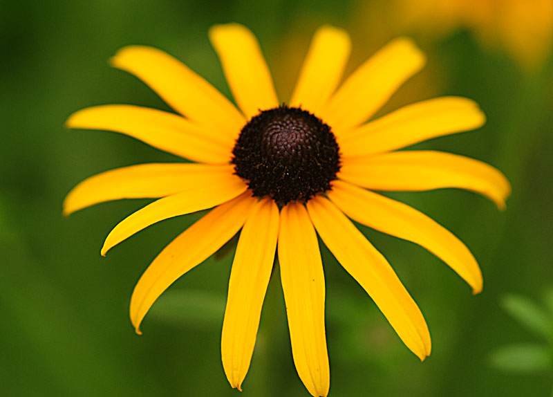 Home >> Pictures of flowers: Black eyed Susan