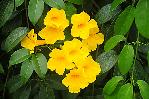 Pictures Of Flowers Yellow Trumpet Vine