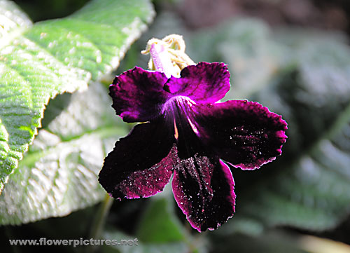 Black And Red >> Pictures of flowers: Cape primrose