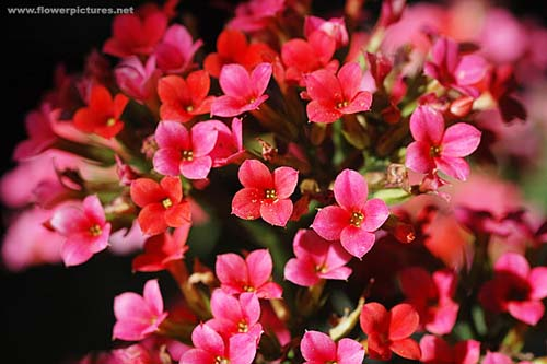Pictures Of Flowers  Kalanchoe