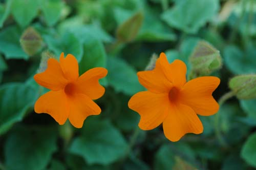 Pictures Of Flowers Orange Clock Vine